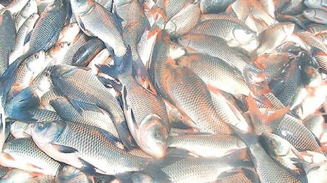 মাছ চাষে অভাবনীয় সাফল্য তোফাজ্জলের