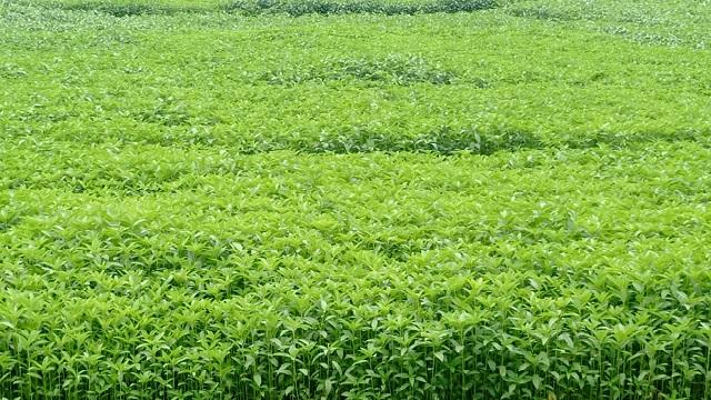 নওগাঁয় প্রায় ৭ হাজার হেক্টর জমিতে পাট চাষের লক্ষ্যমাত্রা