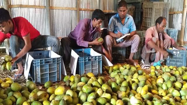 কপাল খোলেনি 'লক্ষ্মণভোগের', ভ্যানে টানলে মজুরি পাঁচ'শ টাকা